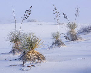 Frost on soaptree yuccas (Yucca elata) and winter morning fog, in the gypsum sand dunes of White Sands National Park, New Mexico, USA. January. - John Shaw