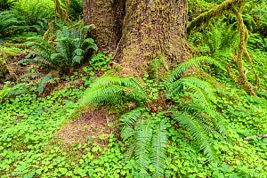 Sword ferns (Polystichum munitum) at the base of Sitka spruce (Picea sitchensis) with Oregon oxalis ground cover (Oxalis oregana). Hoh Rainforest, Olympic National Park, Washington, USA, June.  -  John Shaw