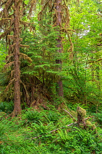 Moss-covered Sitka spruce (Picea sitchensis) and sword fern (Polystichum munitum) in the Hoh Rain Forest, Olympic National Park, Washington, USA, June.  -  John Shaw