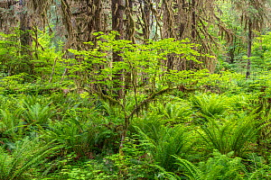 A young bigleaf maple (Acer macrophyllum) amidst sword ferns (Polystichum munitum) and moss covered Sitka spruce (Picea sitchensis). Hoh Rainforest, Olympic National Park, Washington, USA, June.  -  John Shaw