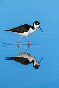 Black-necked stilt (Himantopus mexicanus). Gilbert Water Ranch, Arizona, USA. January.  -  John Shaw