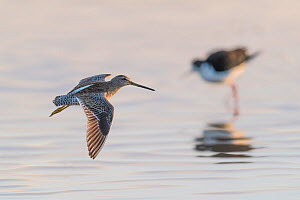 Long-billed Dowitcher (Limnodromus scolopaceus) in flight, with black-necked stilt in background. Gilbert Water Ranch, Arizona, USA. January.  -  John Shaw