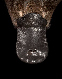 Platypus (Ornithorhynchus anatinus) bill, close up. Controlled conditions, platypus anaesthetised as part of Platypus Conservation Initiative, University of New South Wales research project. Darmouth,... - Doug Gimesy
