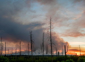 Dead trees and smoke plume of forest fire in distance, fire started by lightning strike. Near North Rim of Grand Canyon National Park, Kaibab National Forest, Arizona, USA. 2019.  -  Jack Dykinga