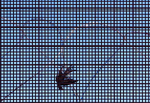 Bird caught in border wall mesh at the Mexican / United States border, Organ Pipe National Monument, Arizona, USA, August. - Jack Dykinga