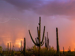 Saguaro cacti (Carnegia gigantea) at sunset, during a summer rain storm. Saguaro National Park, Sonoran Desert, Arizona, USA, August. Digital composite. - Jack Dykinga