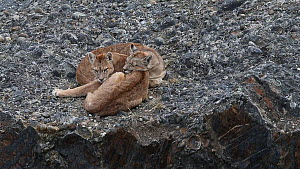 Two juvenile Pumas (Puma concolor) resting, Torres del Paine National Park, Patagonia, Chile, March. - Ingo Arndt