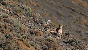 Female Puma (Puma concolor) with two cubs aged around four months, Torres del Paine National Park, Patagonia, Chile, July. - Ingo Arndt