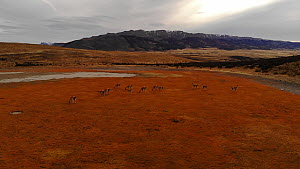 Aerial shot over a herd of Guanacos (Lama guanicoe), Torres del Paine National Park, Patagonia, Chile, April. - Ingo Arndt
