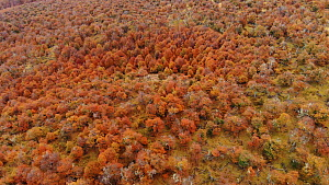 Aerial shot over a forest of Southern beech trees (Nothofagus) in autumn, Torres del Paine National Park, Patagonia, Chile, April, 2018. - Ingo Arndt