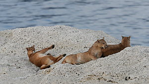 Female Puma (Puma concolor) with two cubs resting on rock, Torres del Paine National Park, Patagonia, Chile, August. - Ingo Arndt