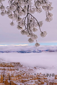 Conifer tree branch covered in snow and frost from winter snow storm. Bryce Canyon National Park, Utah, USA, January. - Jack Dykinga
