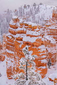 Bryce Canyon National Park after winter snow storms caused heavy frost and snow to cover conifer trees. Bryce Canyon National Park, Utah, USA, January. - Jack Dykinga