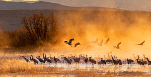 Sandhill cranes (Antigone canadensis) and Snow geese (Chen caerulescens) at sunrise, Bosque del Apache National Wildlife Refuge, New Mexico, USA, November. - Jack Dykinga