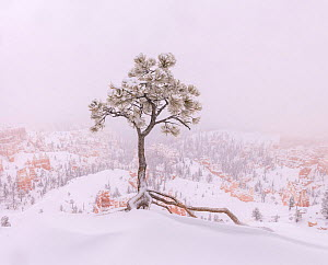 Winter snow storms cause wind-blown drifting along the canyon rim, Bryce Canyon National Park, Utah, USA, January.  -  Jack Dykinga