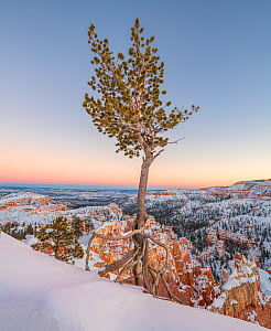 Bryce Canyon National Park, Utah. Bristlecone pine clinging to the canyon rim at dawn, Bryce Canyon National Park, Utah, USA, January. - Jack Dykinga