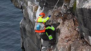 Man being lowered down cliff to collect seabird eggs, including those of Common guillemots (Uria aalge), Skoruvikurbjarg cliffs, Langanes Peninsula, Iceland, May. - Terry  Whittaker