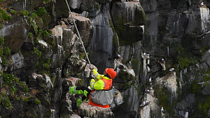 Man abseiling down a cliff and collecting seabird eggs, including those of Common guillemots (Uria aalge), Skoruvikurbjarg cliffs, Langanes Peninsula, Iceland, May. - Terry  Whittaker