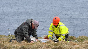 Men sorting seabird eggs, including those of Common guillemots (Uria aalge) into egg boxes, Skoruvikurbjarg cliffs, Langanes Peninsula, Iceland, May. - Terry  Whittaker