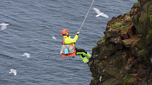 Man being raised up a cliff after collecting seabird eggs, including those of Common guillemots (Uria aalge), Skoruvikurbjarg cliffs, Langanes Peninsula, Iceland, May. - Terry  Whittaker