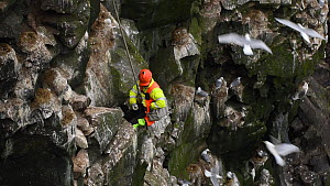 Man being lowered down a cliff to collect seabird eggs, including those of Common guillemots (Uria aalge). Skoruvikurbjarg cliffs, Langanes Peninsula, Iceland, May. - Terry  Whittaker