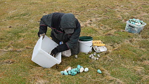 Man gathering harvested seabird eggs, including those of Common guillemots (Uria aalge) into a box, Skoruvikurbjarg cliffs, Langanes Peninsula, Iceland, May. - Terry  Whittaker