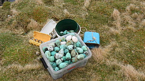 Box of harvested seabird eggs, including those of Common guillemots (Uria aalge), Skoruvikurbjarg cliffs, Langanes Peninsula, Iceland, May. - Terry  Whittaker