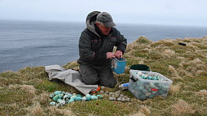 Man sorting seabird eggs, including those of Common guillemots (Uria aalge) into egg boxes, Skoruvikurbjarg cliffs, Langanes Peninsula, Iceland, May.  -  Terry  Whittaker
