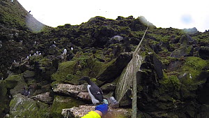 Man being lowered down a cliff to collect seabird eggs, including those of Common guillemots (Uria aalge). Camera attached to helmet, Skoruvikurbjarg cliffs, Langanes Peninsula, Iceland, May.  -  Terry  Whittaker