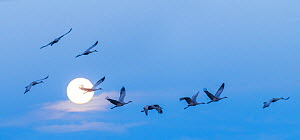 Sandhill cranes (Antigone canadensis) taking off and flying past a full 'super-moon' en route to feeding in neighboring fields. Bosque del Apache National Wildlife Refuge, New Mexico, USA, Jan...  -  Jack Dykinga