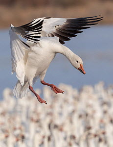Snow goose (Chen caerulescens) landing into flock, Bosque del Apache National Wildlife Refuge, New Mexico, USA, January.  -  Jack Dykinga