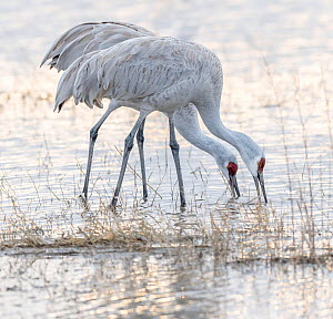 Sandhill cranes (Antigone canadensis) feeding in pond, Bosque del Apache National Wildlife Refuge, New Mexico, USA. January. - Jack Dykinga