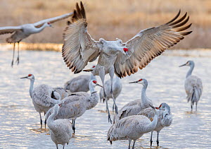 Sandhill cranes (Antigone canadensis) arriving at their roost pond in sunset light. Bosque del Apache National Wildlife Refuge. New Mexico, USA, January.  -  Jack Dykinga