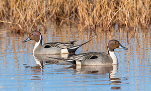Pintail ducks (Anas acuta) in the marshes at dawn, Whitewater Draw, Arizona, USA, January.  -  Jack Dykinga