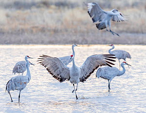 Sandhill cranes (Antigone canadensis) arriving at their roost pond in sunset light. Bosque del Apache National Wildlife Refuge, New Mexico, USA, January.  -  Jack Dykinga