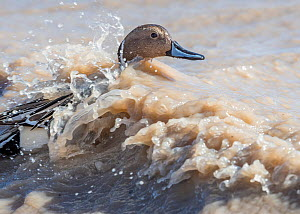 Pintail duck (Anas acuta) on waves during winter storm, Bosque del Apache National Wildlife Refuge, New Mexico, USA, January.  -  Jack Dykinga