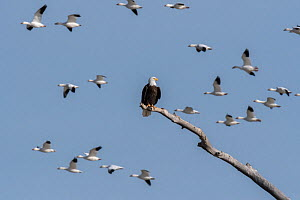 Bald eagle (Haliaeetus leucocephalus) perched as Snow geese (Chen caerulescens) fly by, Bosque del Apache National Wildlife Refuge, New Mexico, USA, January. - Jack Dykinga