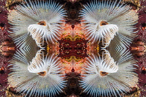 Kaleidoscopic image of Indian fan worm (Sabellastarte indica), Mabul, Malaysia.  -  Georgette Douwma