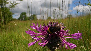 Buff-tailed bumblebee (Bombus terrestris) nectaring on a Greater knapweed flower (Centaurea scabiosa) in a chalk grassland meadow, flies off, Wiltshire, England, UK, June.  -  Nick Upton