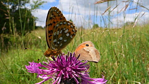 Dark green fritillary (Argynnis aglaja) nectaring on a Greater knapweed flower (Centaurea scabiosa) in a chalk grassland meadow, joined by a Meadow brown butterfly (Maniola jurtina), Wiltshire, Englan... - Nick Upton