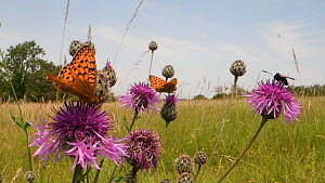 Two Dark green fritillary butterflies (Argynnis aglaja) and a Narrow-bordered five-spot burnet moth (Zygaena lonicerae) nectaring on a Greater knapweed flower (Centaurea scabiosa) in a chalk grassland... - Nick Upton