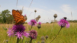 Two Dark green fritillary butterflies (Argynnis aglaja), Marbled white butterflies (Melanargia galathea) and a Narrow-bordered five-spot burnet moth (Zygaena lonicerae) nectaring on a Greater knapweed... - Nick Upton