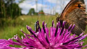 Female Thick-legged flower beetle (Oedemera nobilis) and a Meadow brown butterfly (Maniola jurtina) nectaring on a Greater knapweed flower (Centaurea scabiosa) in a chalk grassland meadow, Wiltshire,... - Nick Upton