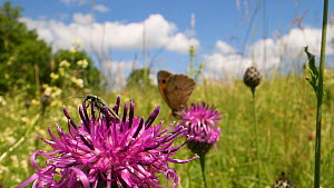 Female Thick-legged flower beetle (Oedemera nobilis) and a Meadow brown butterfly (Maniola jurtina) nectaring on Greater knapweed flowers (Centaurea scabiosa) in a chalk grassland meadow, Wiltshire, E... - Nick Upton