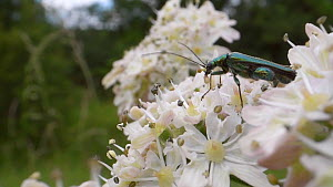 Male Thick-legged flower beetle (Oedemera nobilis), with a Pyramidal orchid (Anacamptis pyramidalis) pollinium attached to its head, nectaring on Common hogweed flowers (Heracleum sphondylium), Wiltsh...  -  Nick Upton