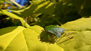 Green shield bug (Palomena prasina) positioning itself to sun on Philadelphus leaves in a garden, Wiltshire, England, UK, April. - Nick Upton