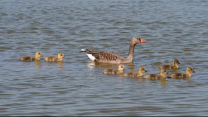 Pair of Greylag geese (Anser anser) and chicks swimming in a line to emerge from a lake, Gloucestershire, England, UK, April.  -  Nick Upton
