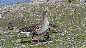 Greylag goose (Anser anser) family walking and grazing on the margin of a lake, Gloucestershire, England, UK, April.  -  Nick Upton