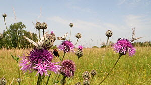 Six-spot burnet moth (Zygaena filipendulae), Marbled white butterflies (Melanargia galathea) and a Dark green fritillary (Argynnis aglaja) nectaring on a clump of Greater knapweed flowers (Centaurea s...  -  Nick Upton