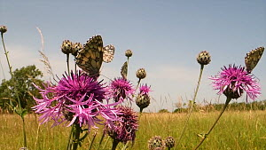 Marbled white butterflies (Melanargia galathea) and a Meadow brown butterfly (Maniola jurtina) nectaring on a clump of Greater knapweed flowers (Centaurea scabiosa) in a chalk grassland meadow, Wiltsh... - Nick Upton